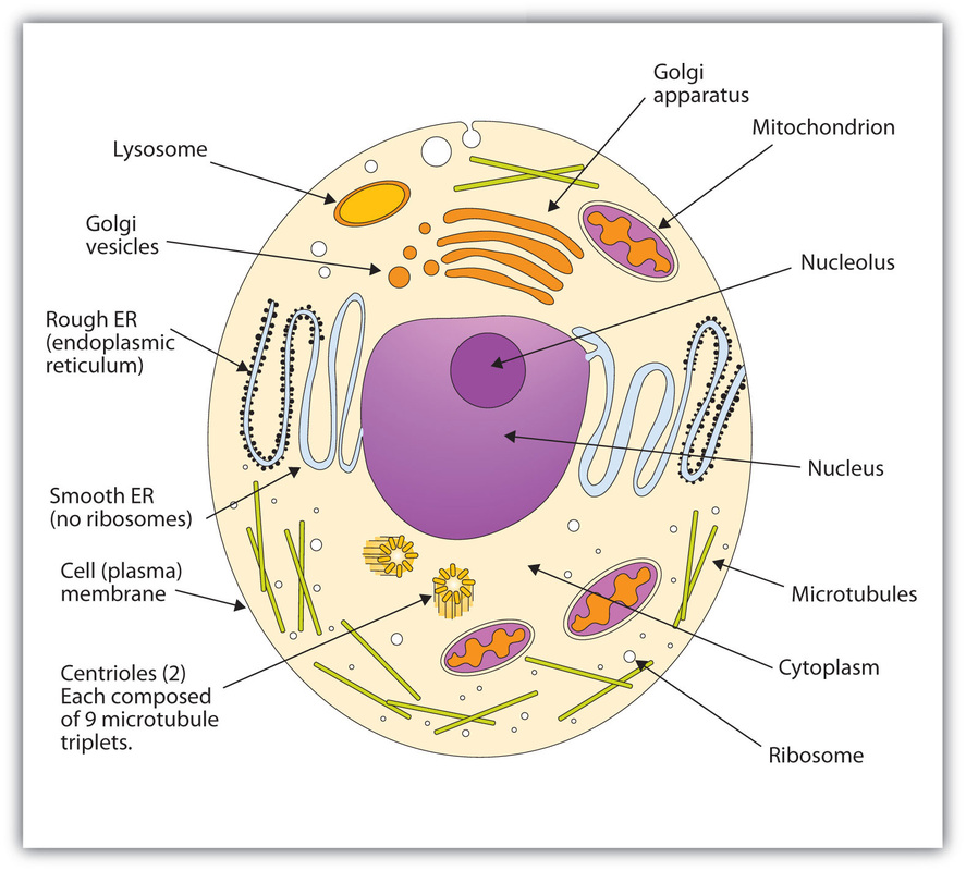 Animal Cell Coloring Page Answers : Biology 12